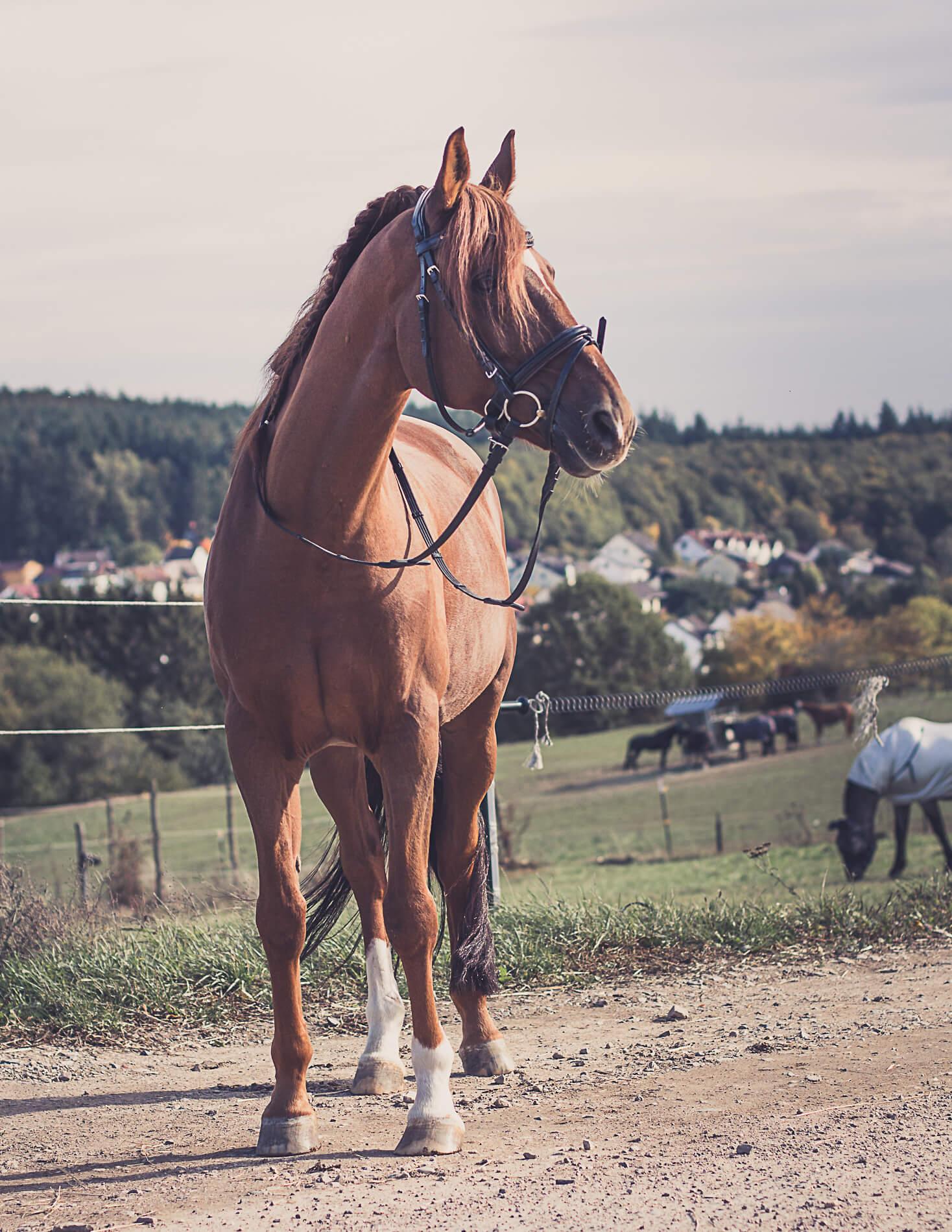 schulpferd-romeo-rheingauer-reitschule